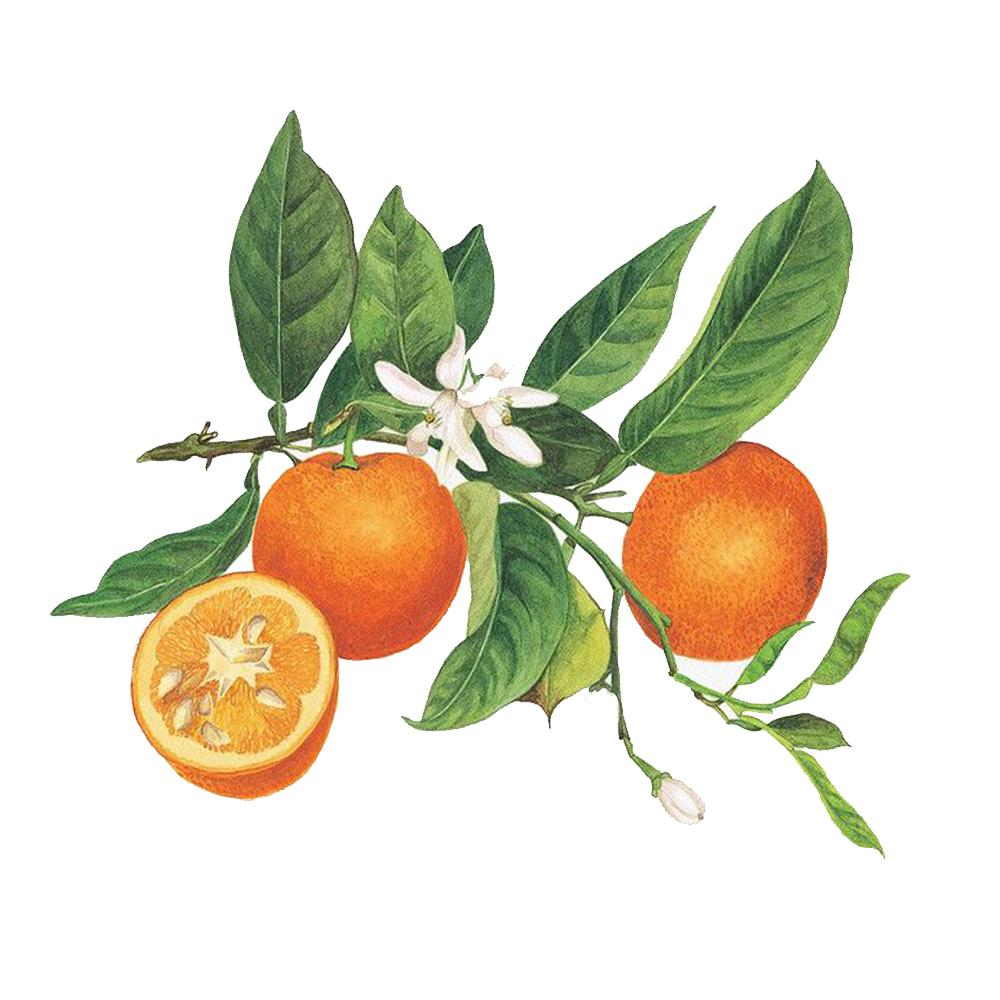 Dried Bitter Orange Peel - Alembics
